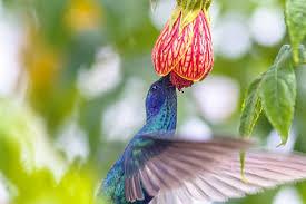 Resultado de imagen de alimentacion del colibri