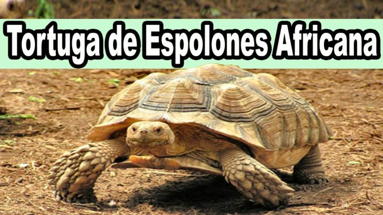 Tortuga Espolon africana