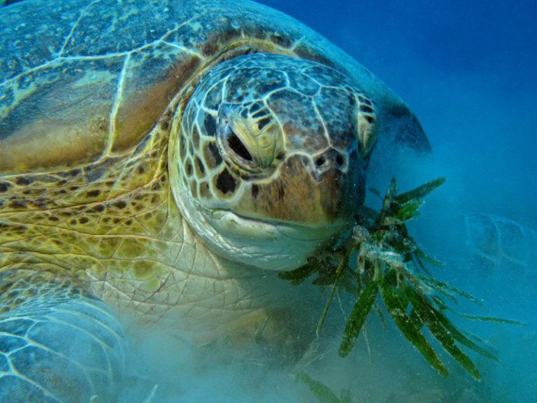 De que alimenta una tortuga marina