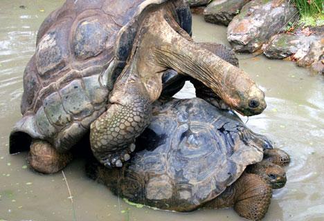 Como se reproducen las Tortugas