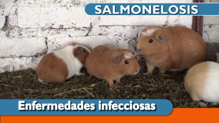 Salmonelosis en Cuyes, Tratamiento y Prevencion 🐹