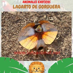 Lagarto de gorguera (Chlamydosaurus kingii)