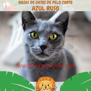 Azul Ruso- Razas de gatos pelo corto