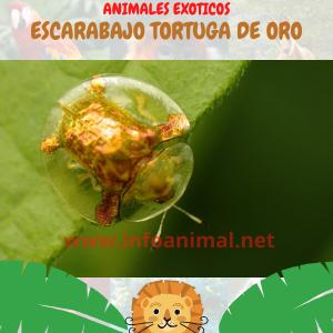 Escarabajo tortuga de oro (Charidotella sexpunctata)