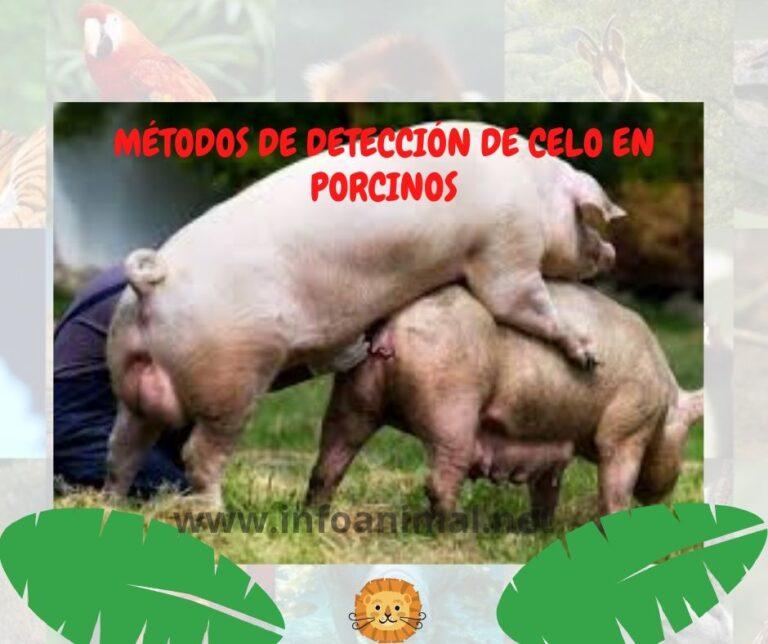 Métodos de detección de celo en Porcinos