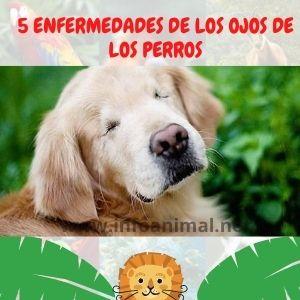 5 enfermedades de los ojos de los perros