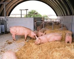 Sistema de cama profunda en la producción porcina