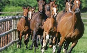 La cría de caballos alemanes para la equitación - ANEIA - Universidad de  Los Andes