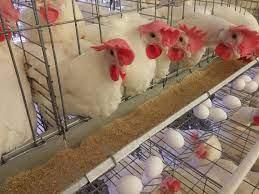 Buenas Prácticas en la Producción Avícola
