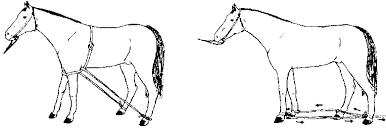 Determinación de la edad de los caballos